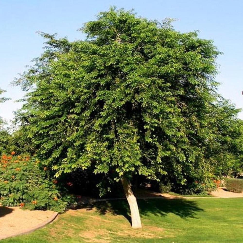 شجرة الساسم