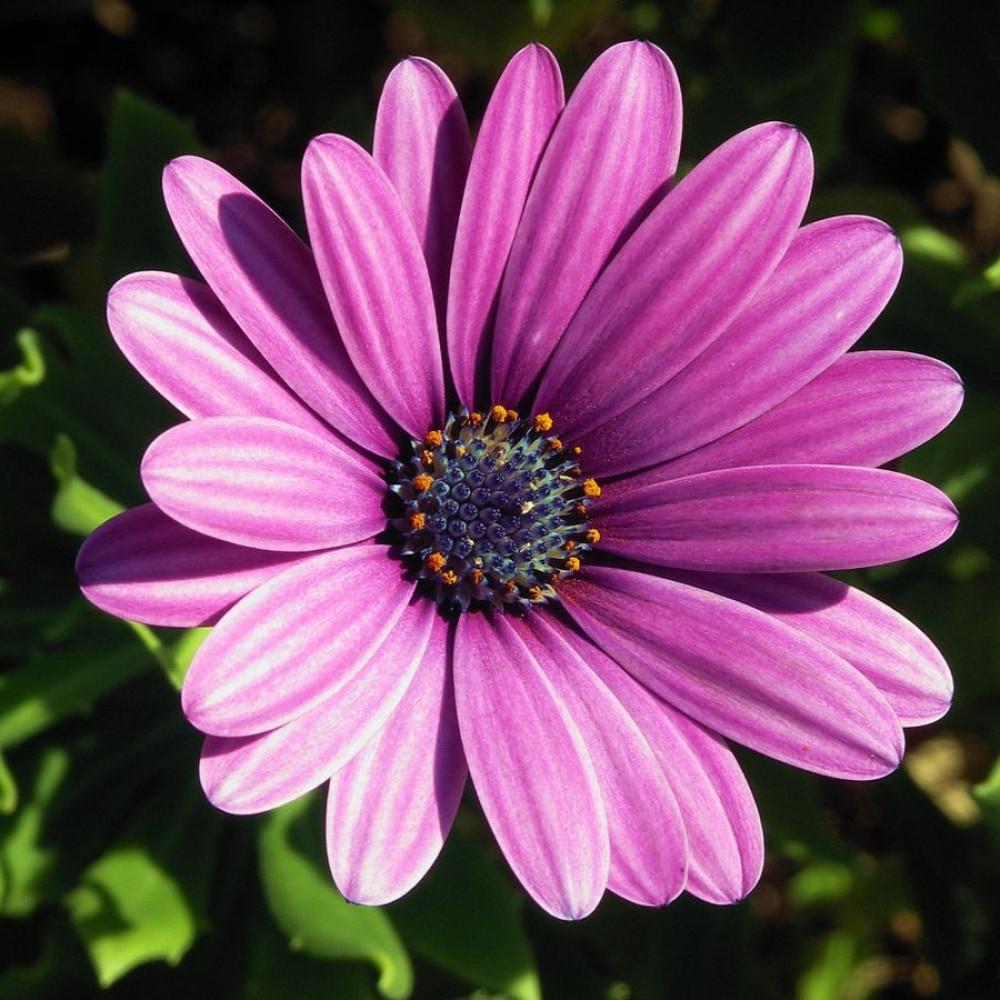 زهور ديمورفتيكا-متجر بذور الزراعي