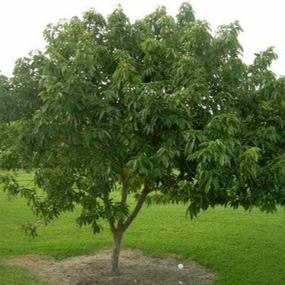 شجرة فاكهة القشطة