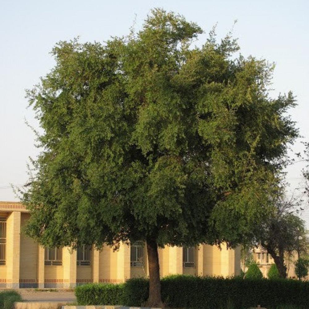 شجرة السدر البلدي