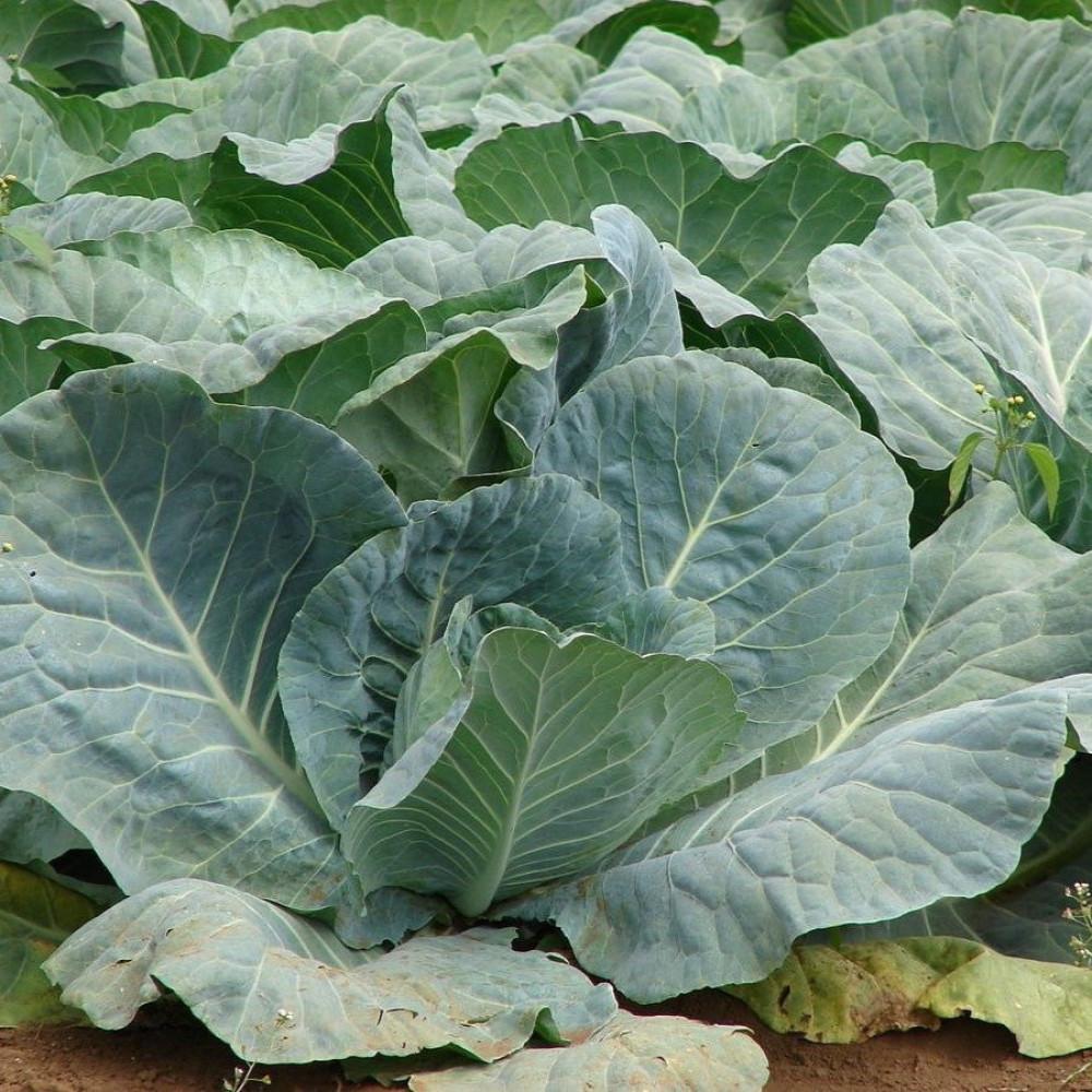 نبات الملفوف-متحر بذور الزراعي