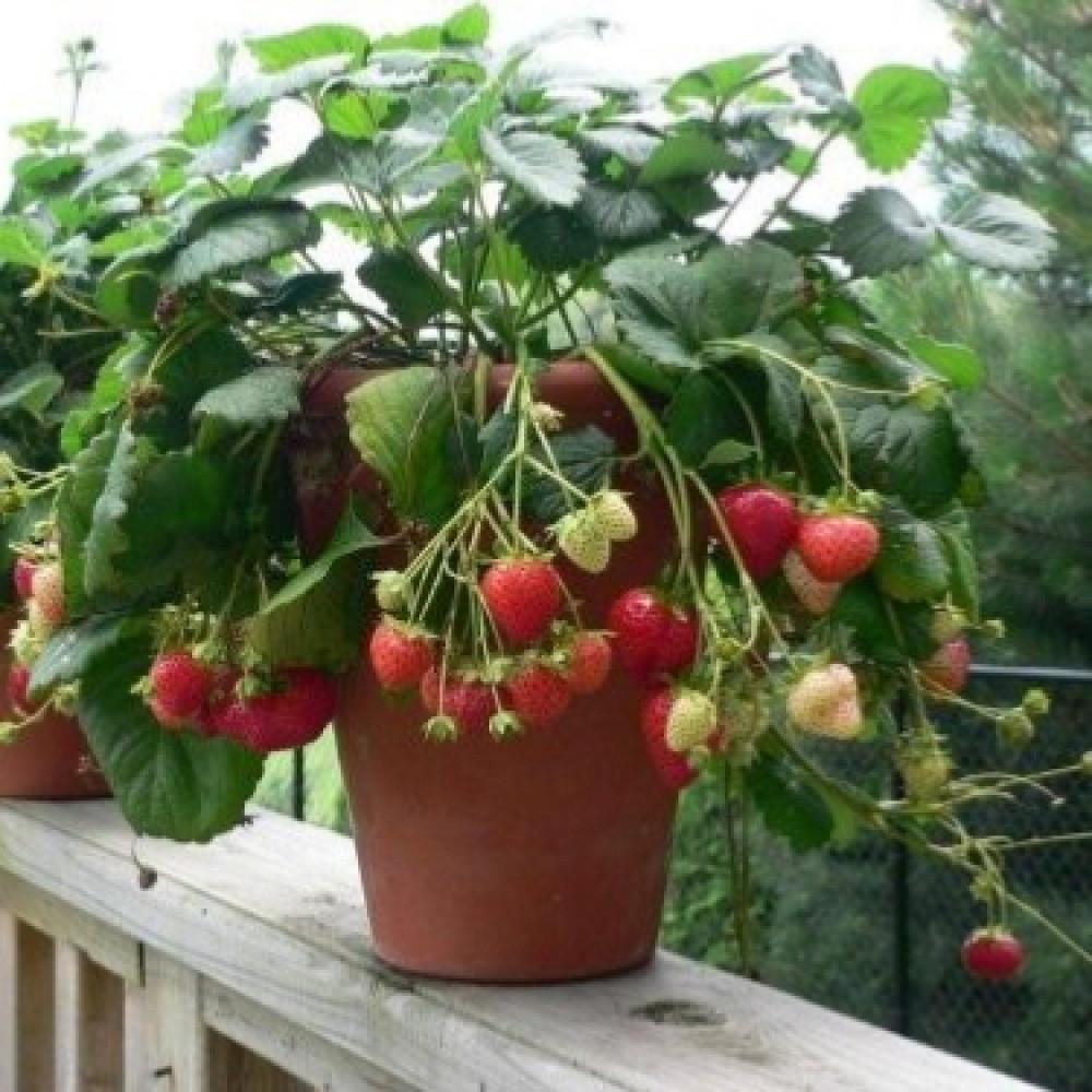 بذور فراولة-متحر بذور الزراعي