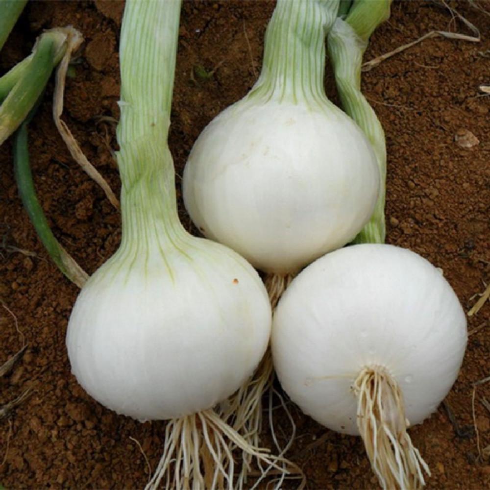 بذور بصل ابيض - متجر بذور الزراعي
