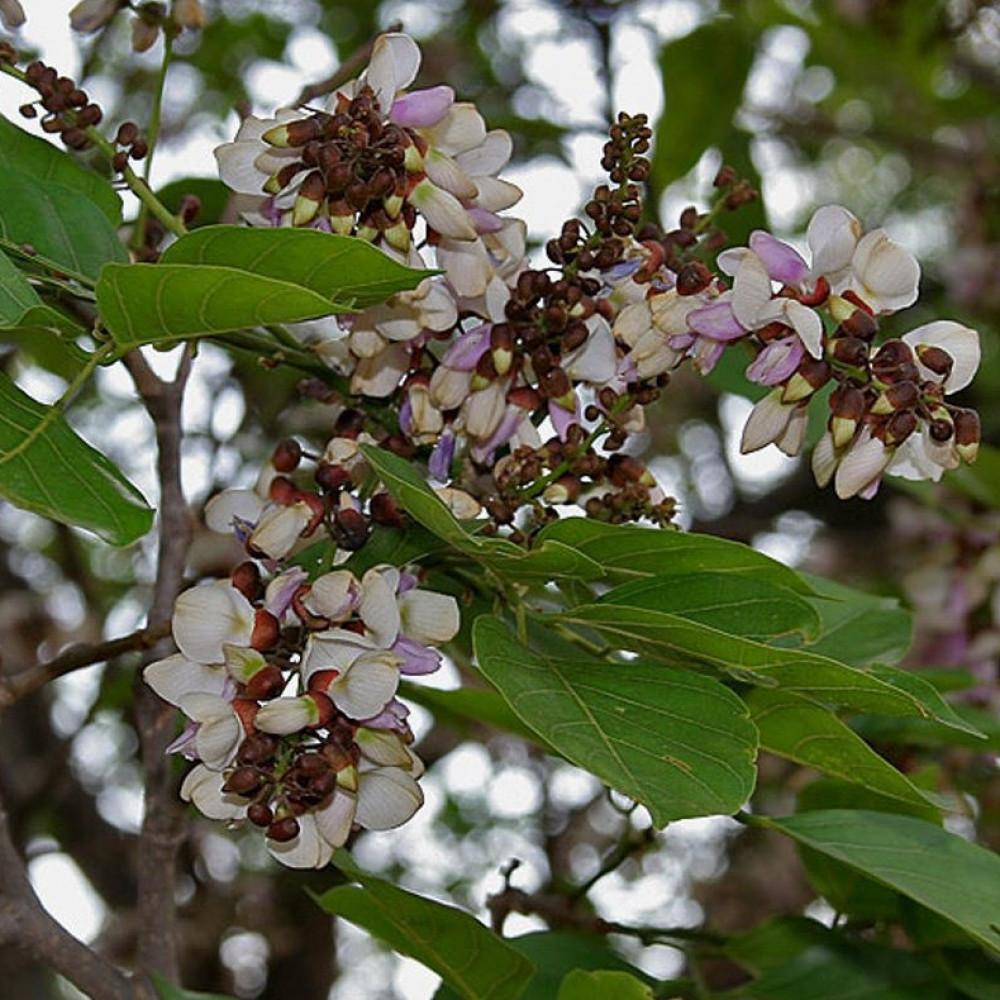 زهور بونجاميا