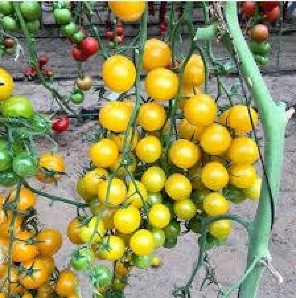 طماطم شيري اصفر
