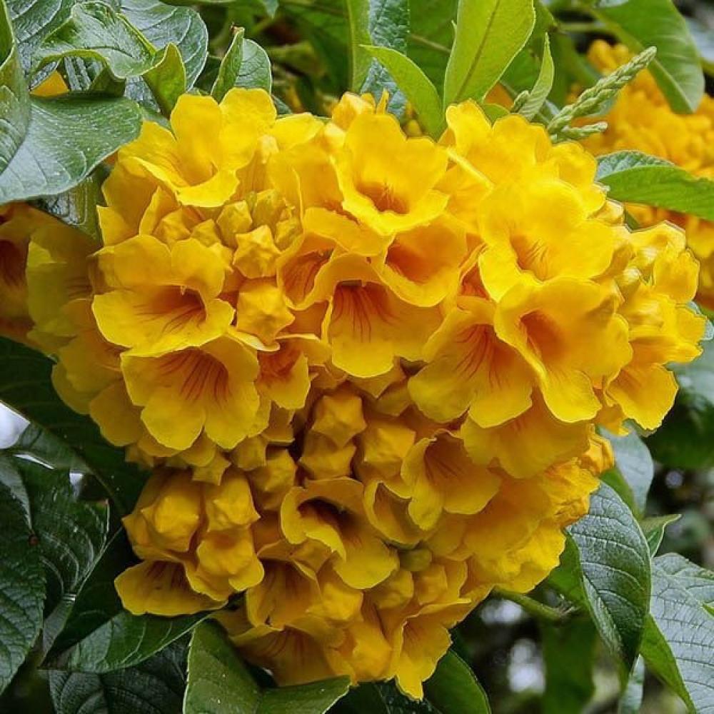زهور التيكوما