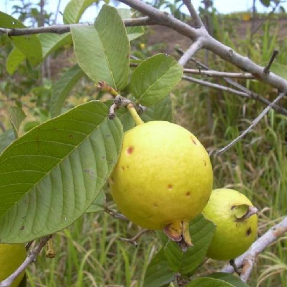 بيع بذور جوافة صفراء- متجر بذور الزراعي