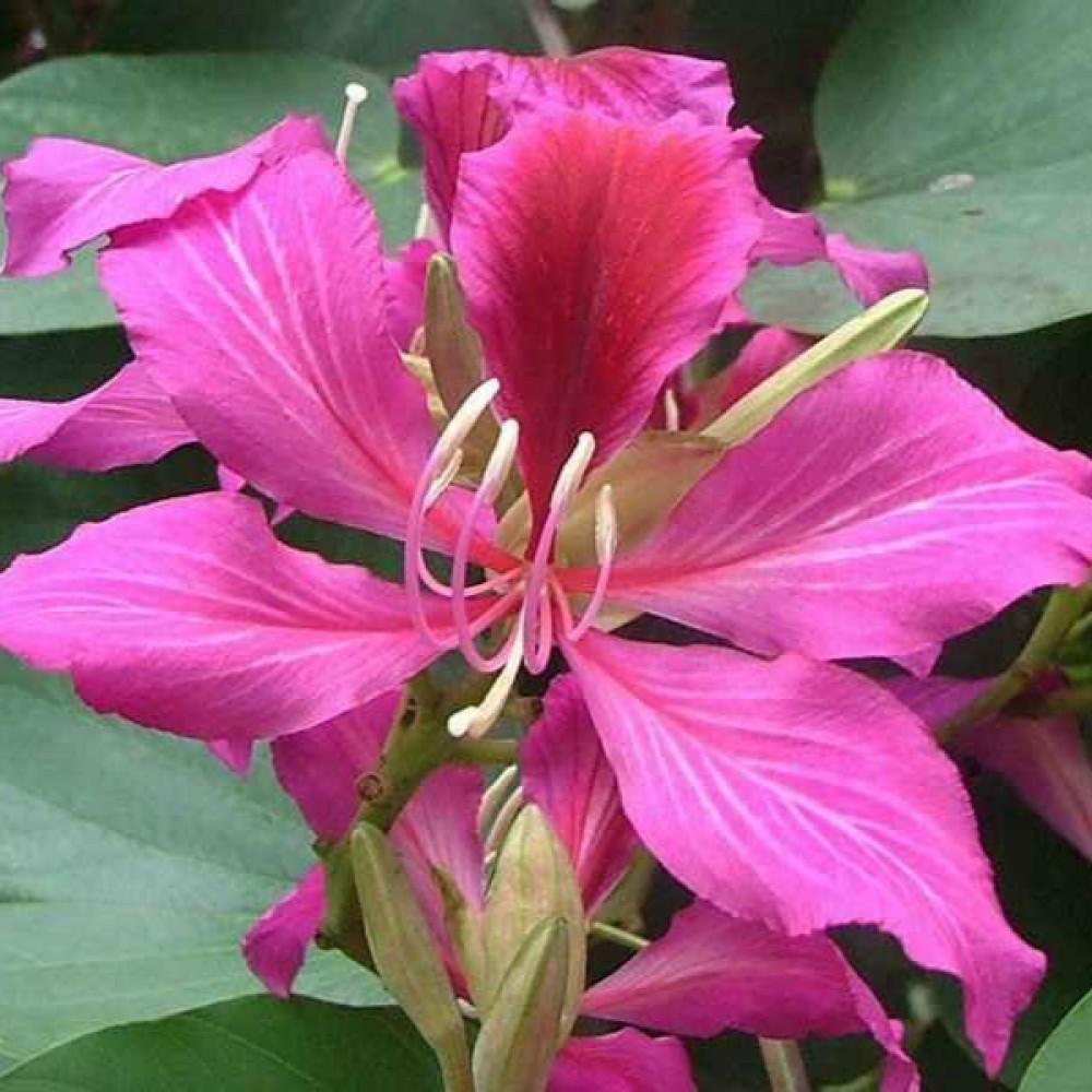 زهرة شجرة البوهينيا