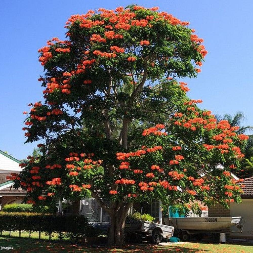 شجرة التوليب الأفريقية