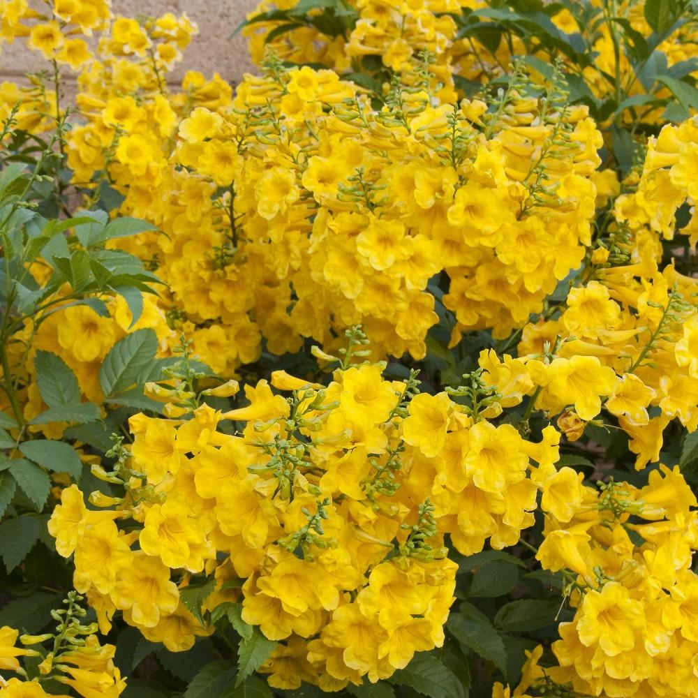 زهور شجيرة تيكوما ستانس