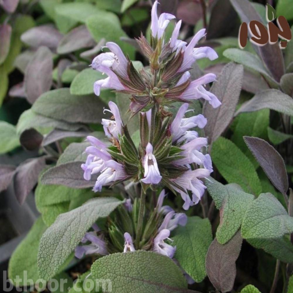 زهور المرامية