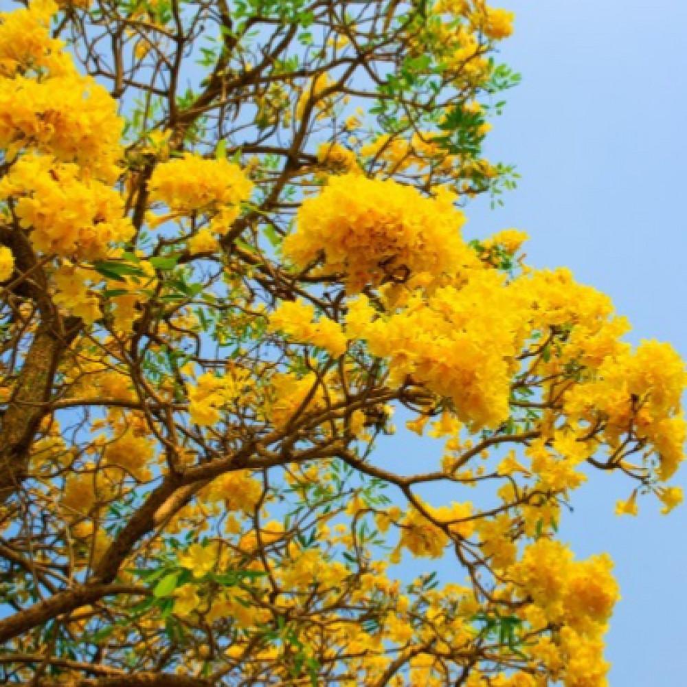 شجرة تابوبيا ذهبية