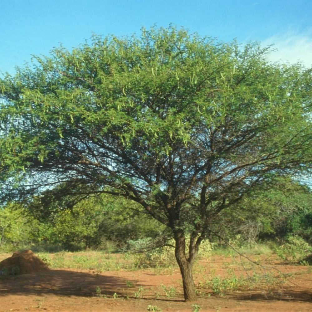 شجرة القرض