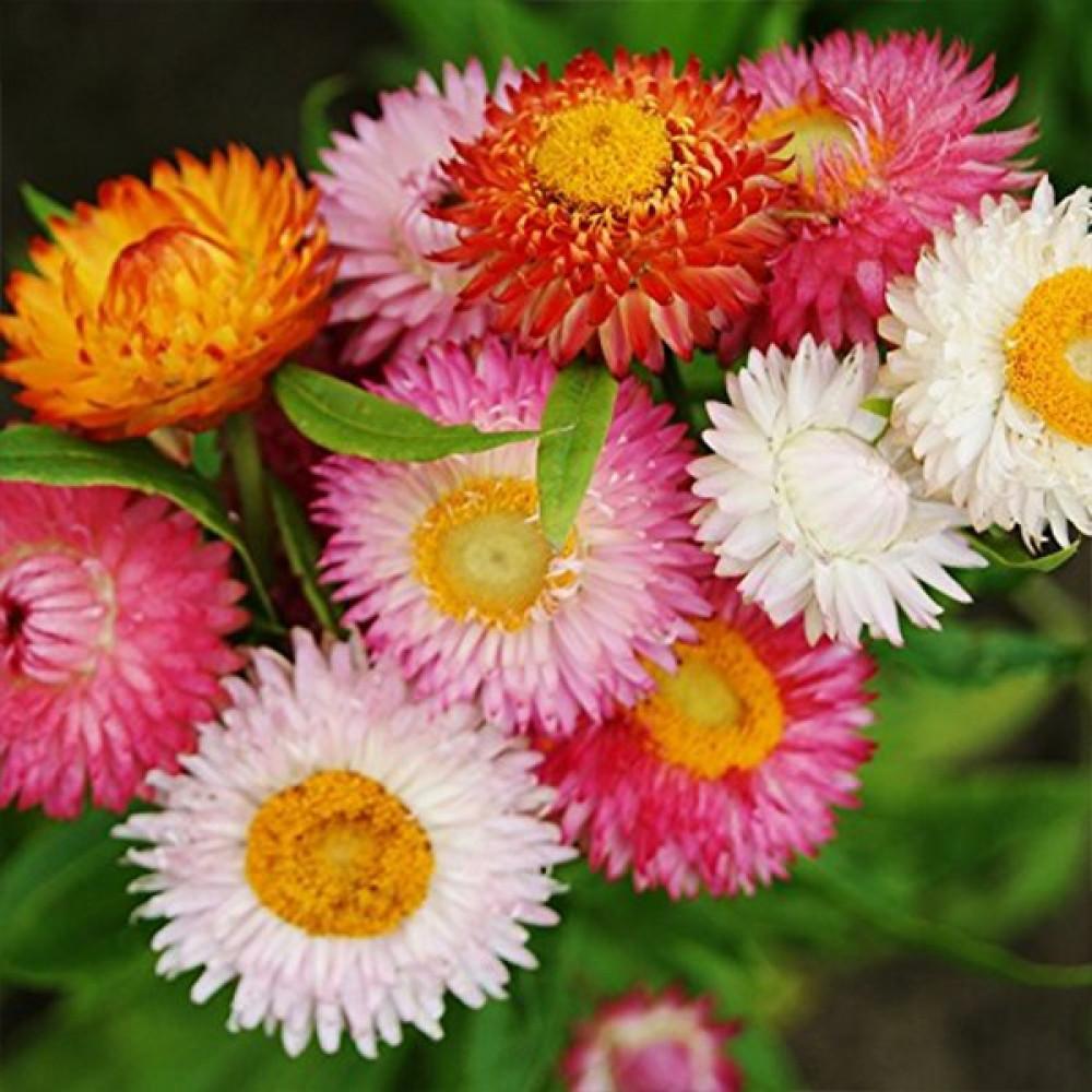 زهور هيلكريزم