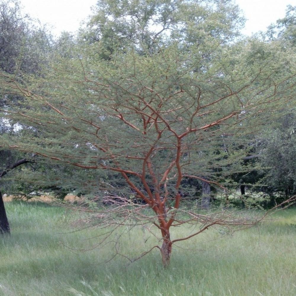 بذور شجرة الصمغ العربي