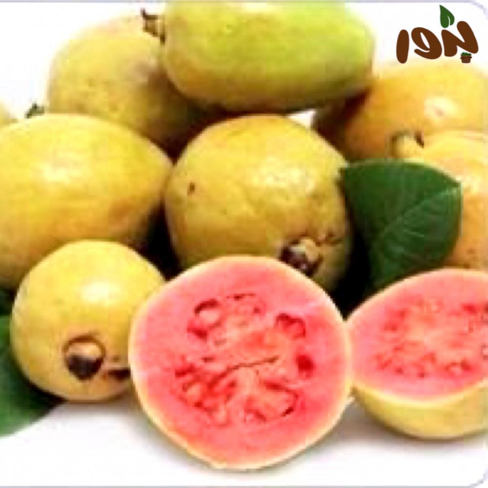 بذور الجوافة الحمراء-متجر بذور الزراعي