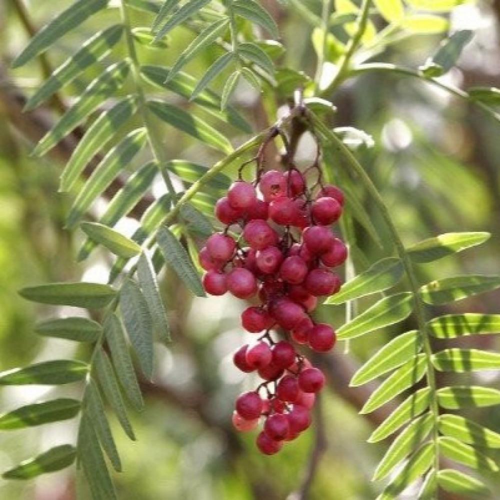 ثمار شجرة الفلفل البيروفي