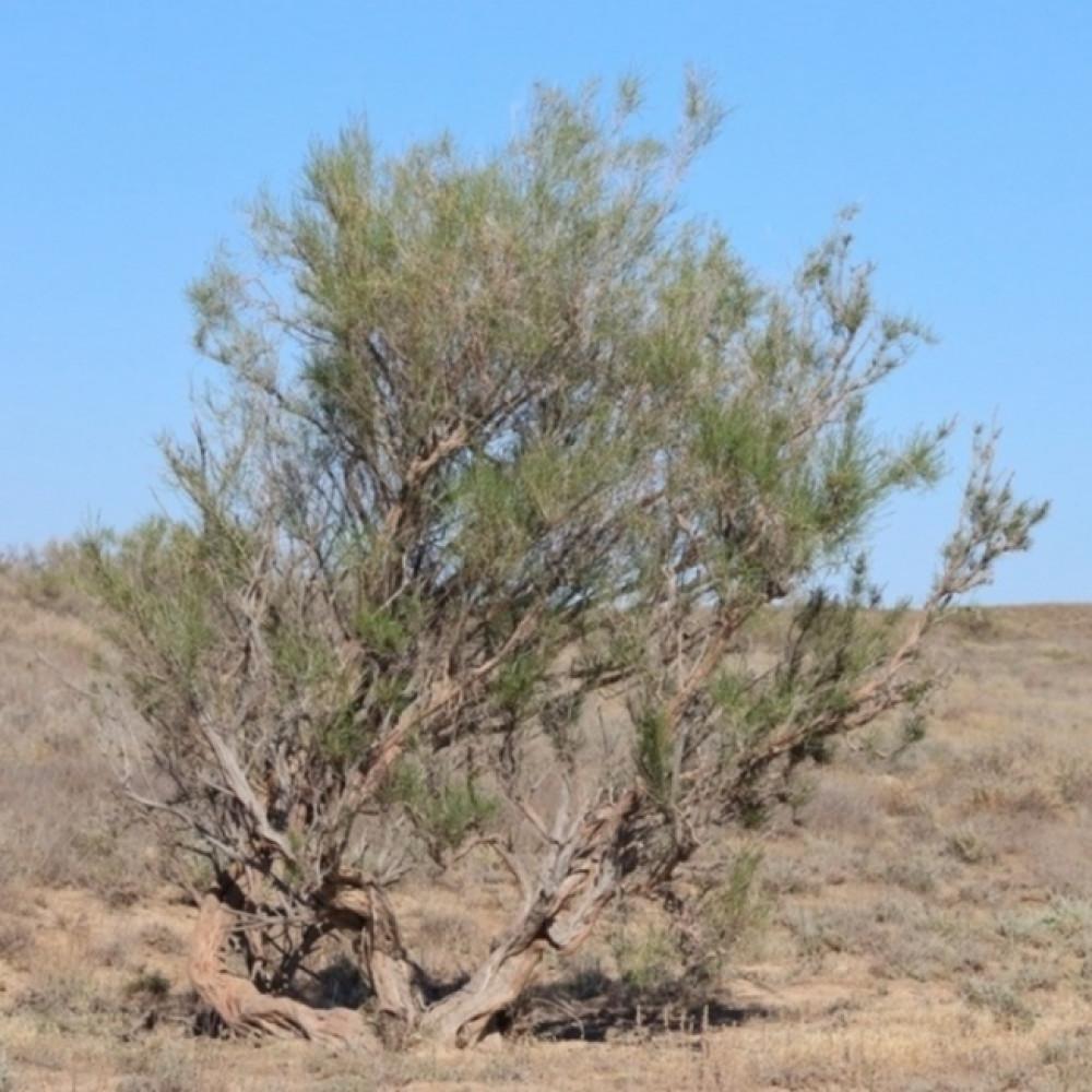 بذور شجرة الغضى- متجر بذور الزراعي