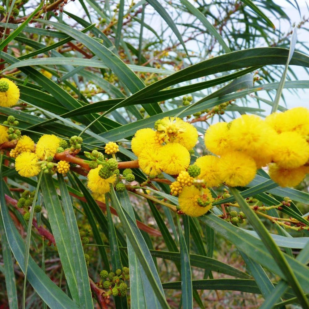 زهور اكاسيا ساليجنا