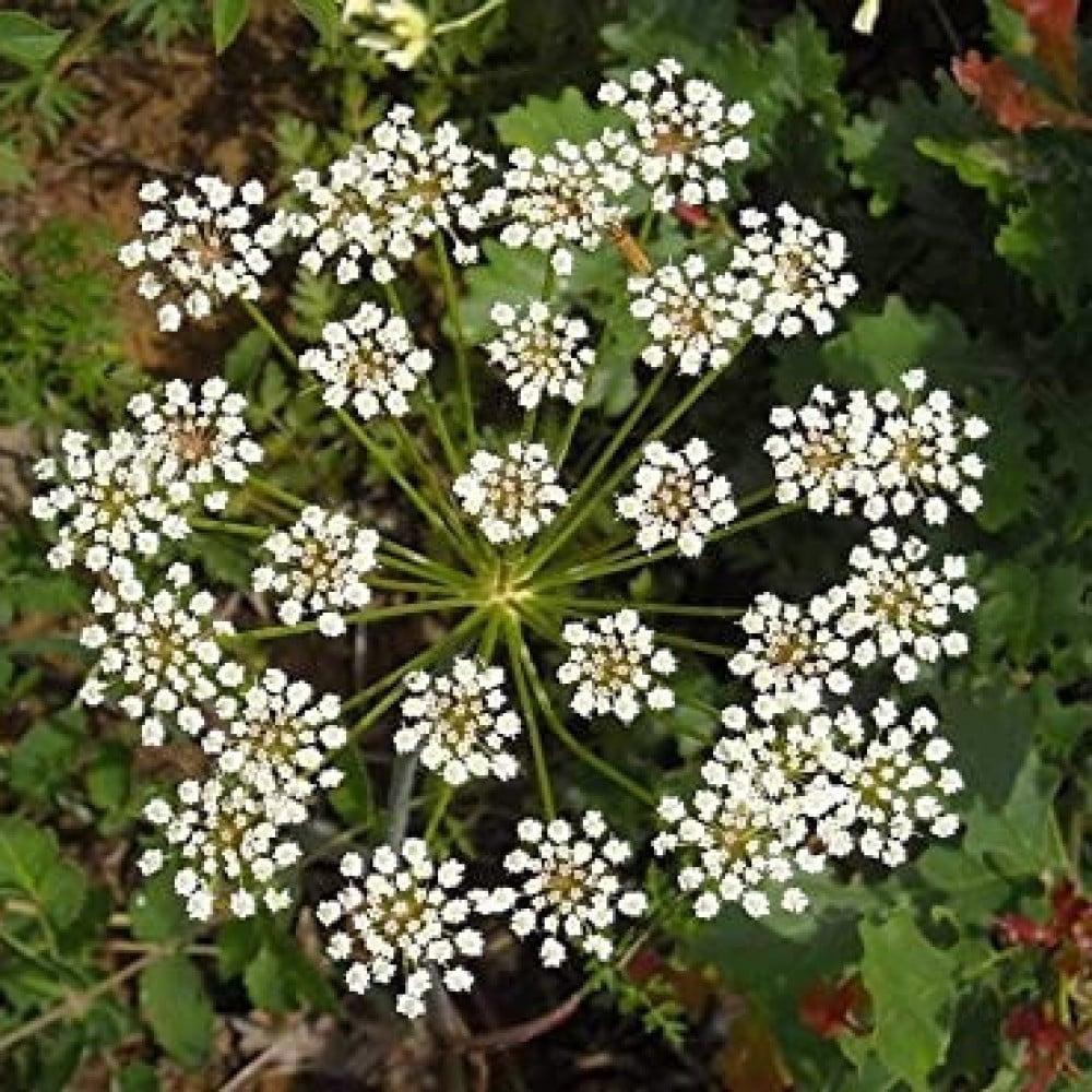 نبات اليانسون-متجر بذور الزراعي