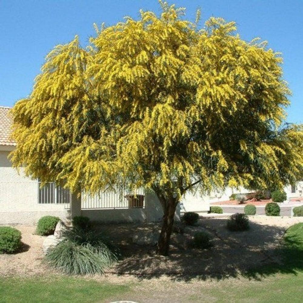 شجرة اكاسيا ساليجنا