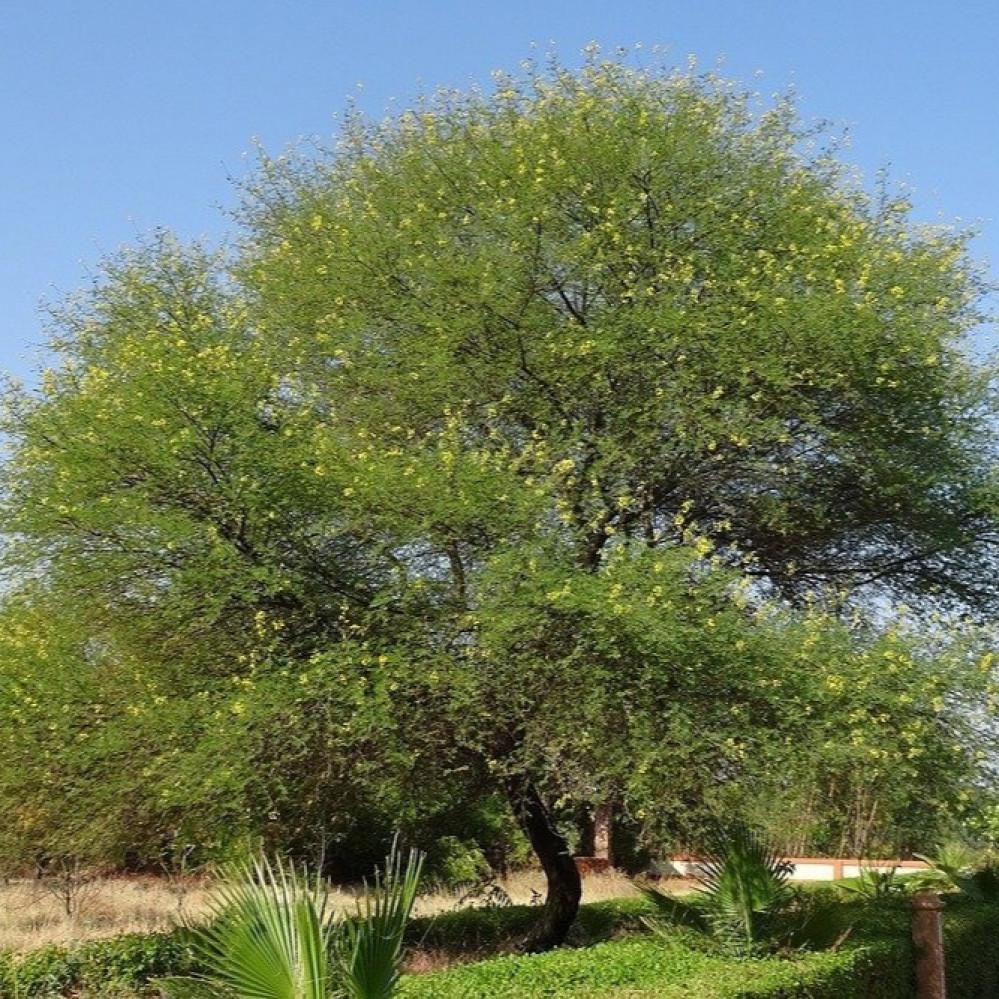 شجرة قرض الحجاز