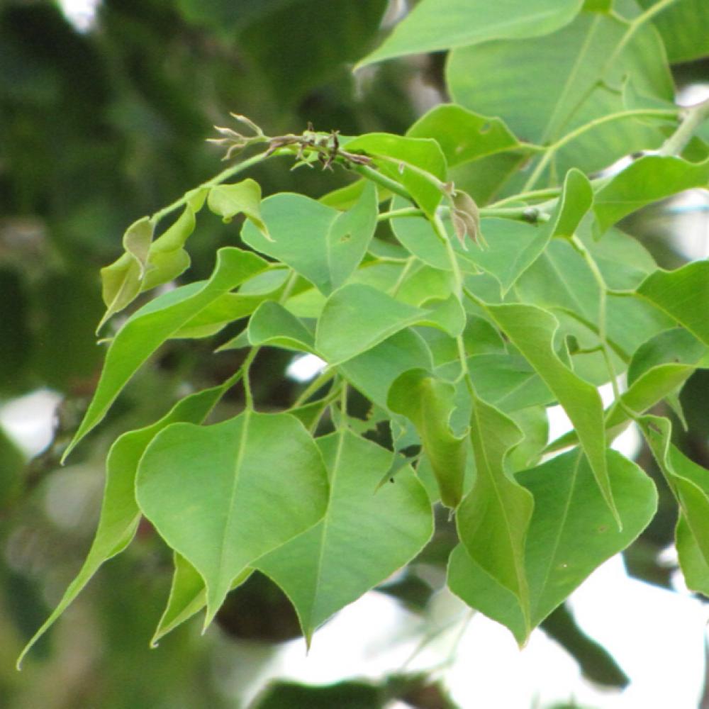 اوراق شجرة السيسم