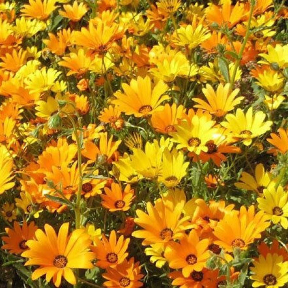 زهور ديمورفتيكا برتقالي واصفر-متجر بذور الزراعي