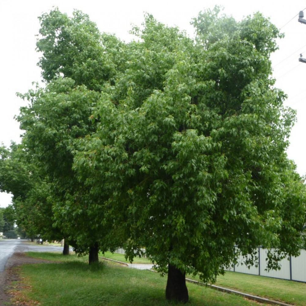 شجرة استركوليا مخمسة