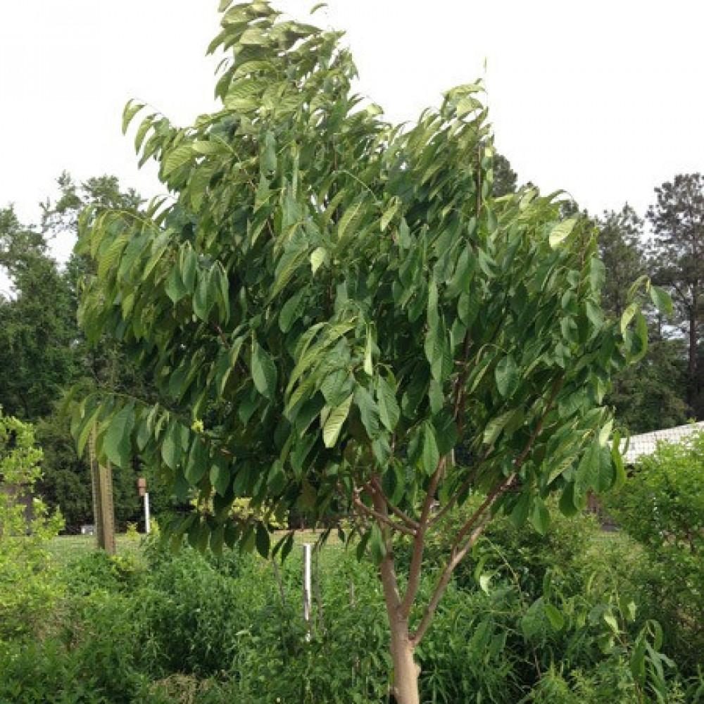 شجرة القشطة