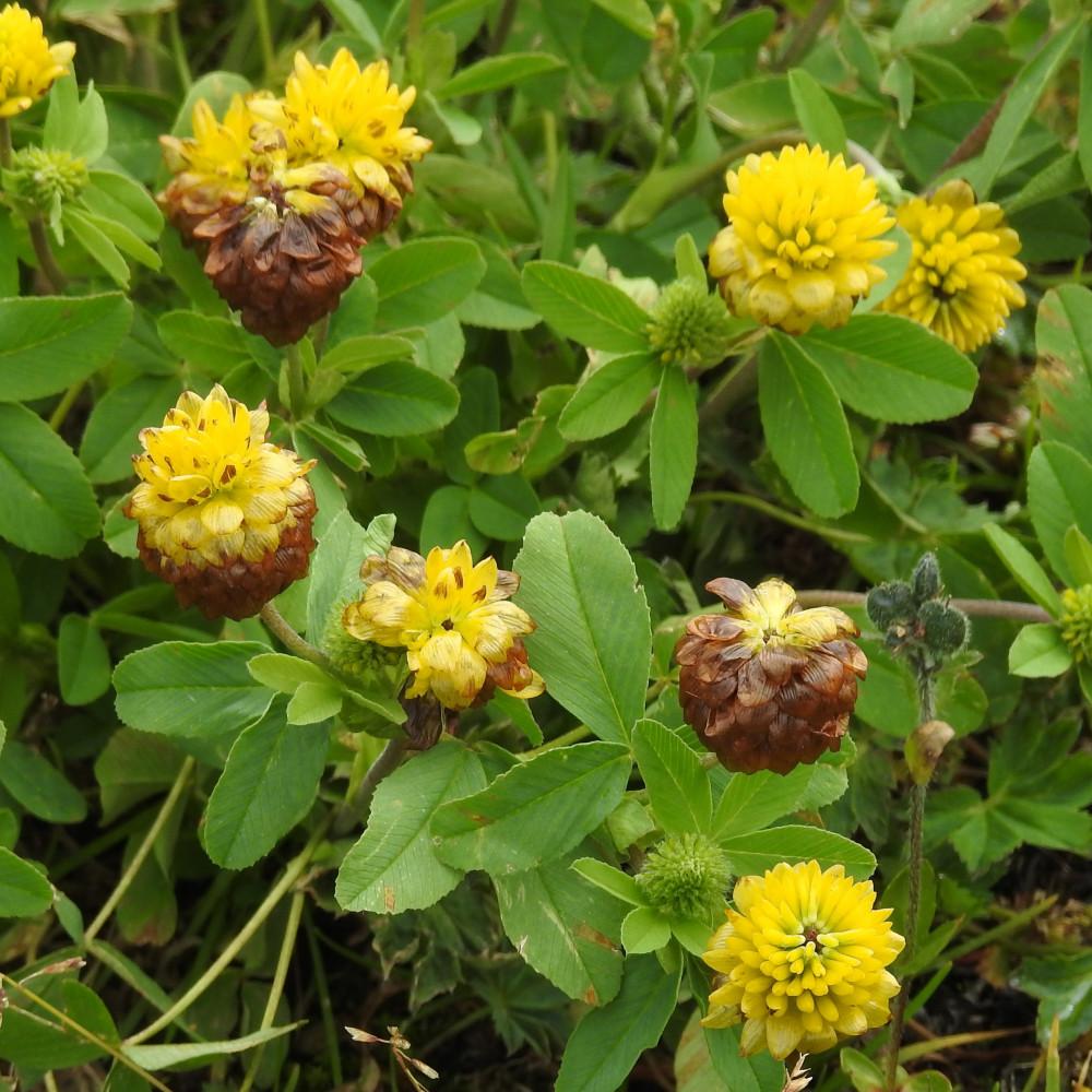 زهور النفل