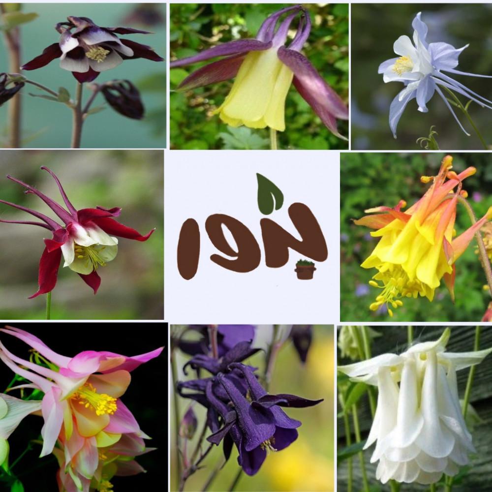 زهرة اكويليجيا-متجر بذور الزراعي