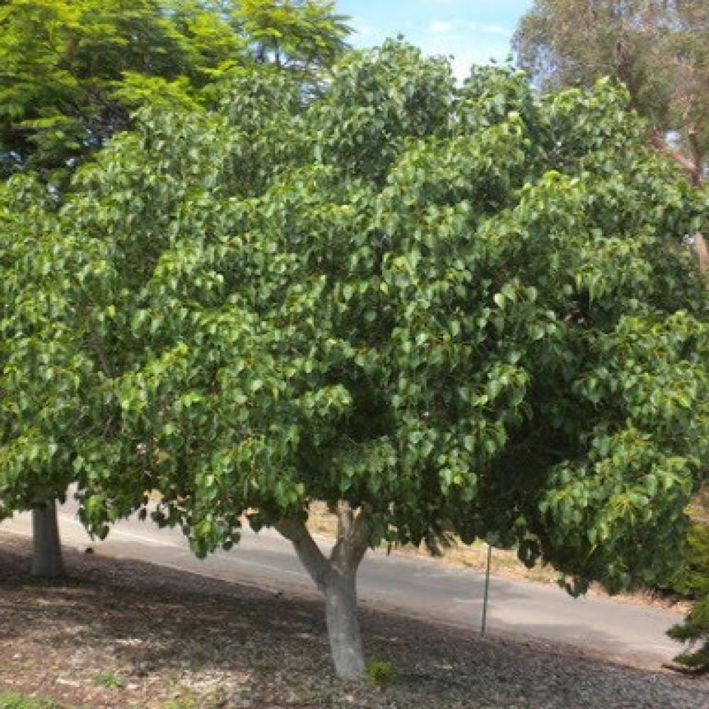 بذور شجرة فكس لسان العصفور-متجر بذور الزراعي