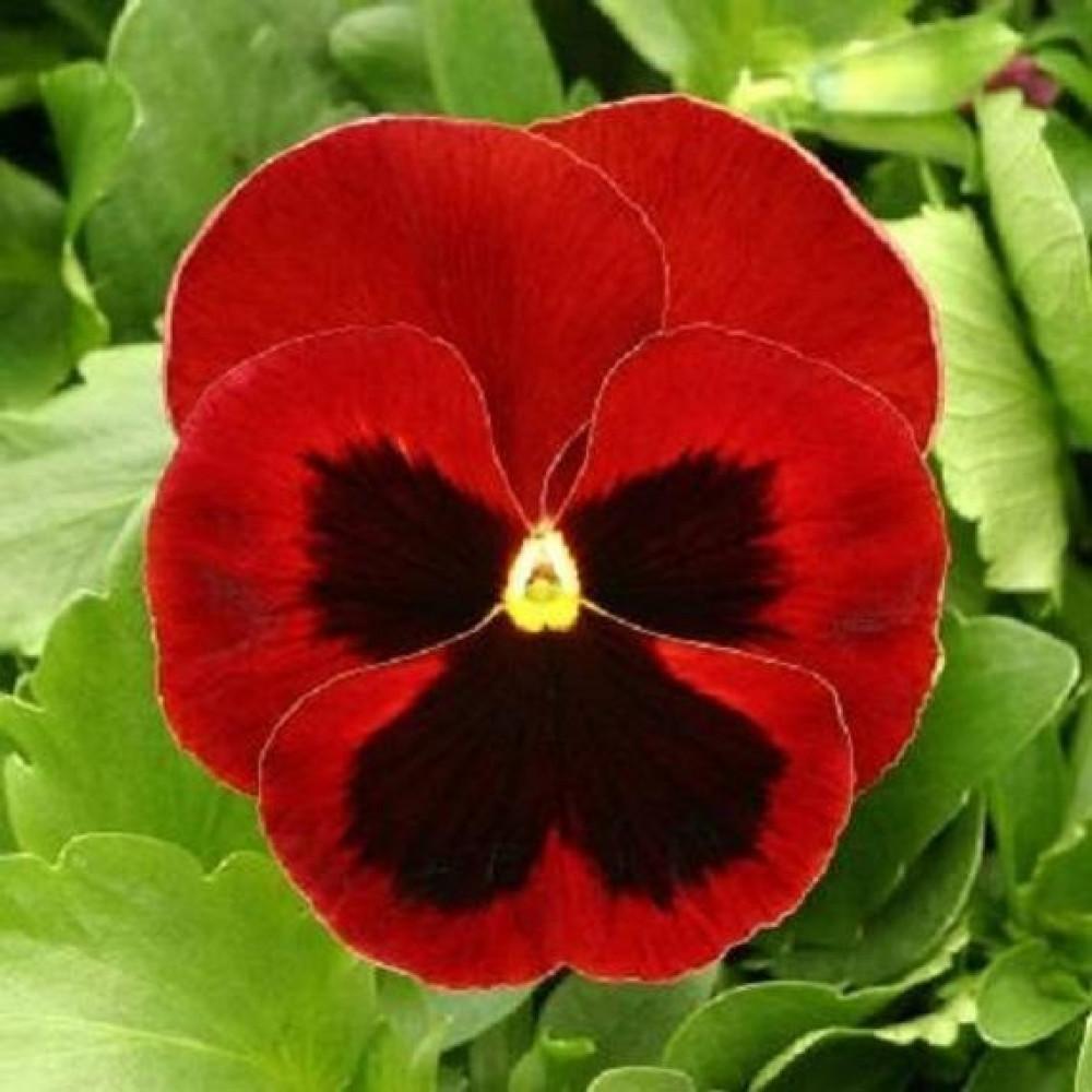 بذور زهرة بانسي حمراء