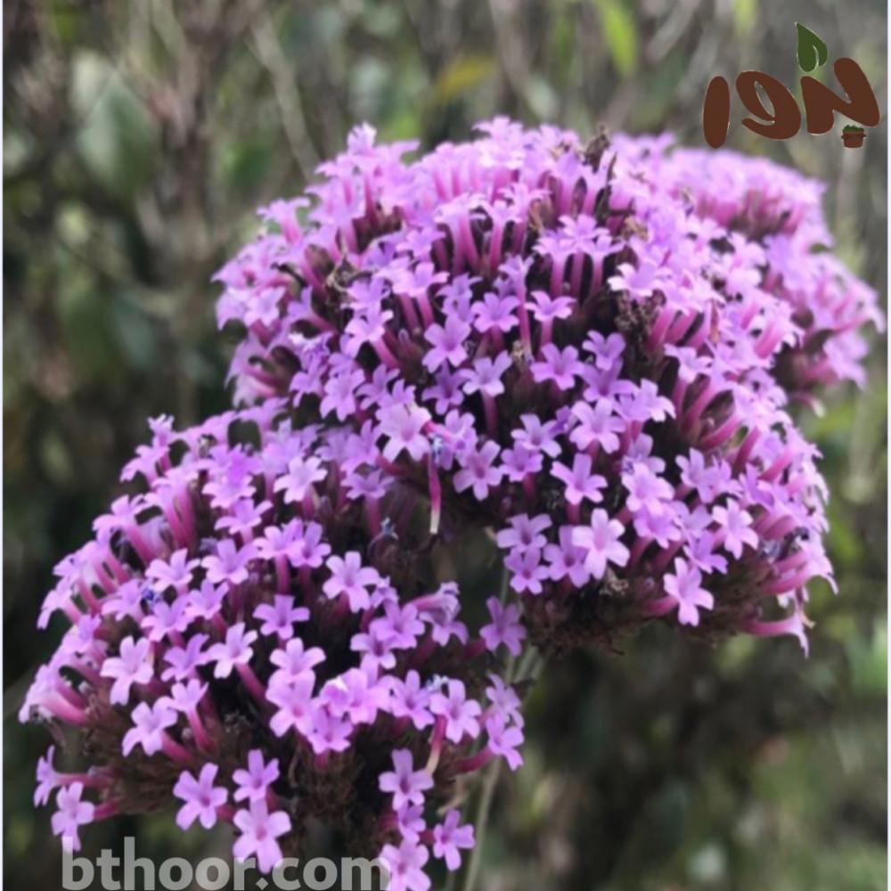 زهرة فربينيا - رعي الحمام