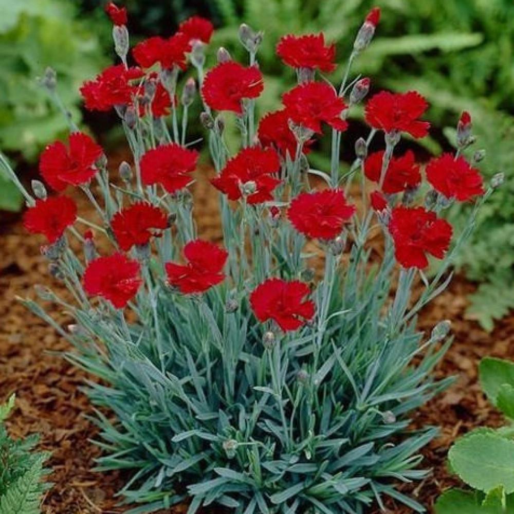 زهور القرنفل الاحمر