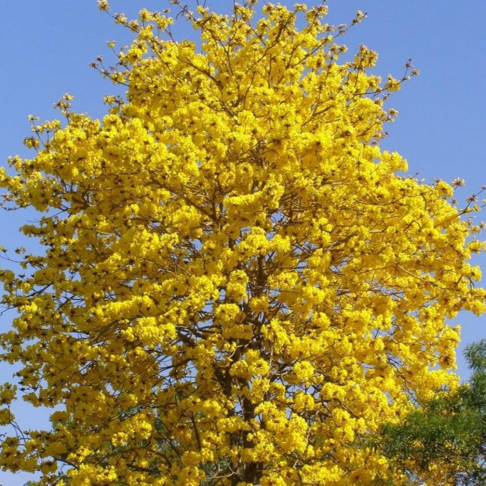بذور التابوبيا الصفراء-متجر بذور الزراعي