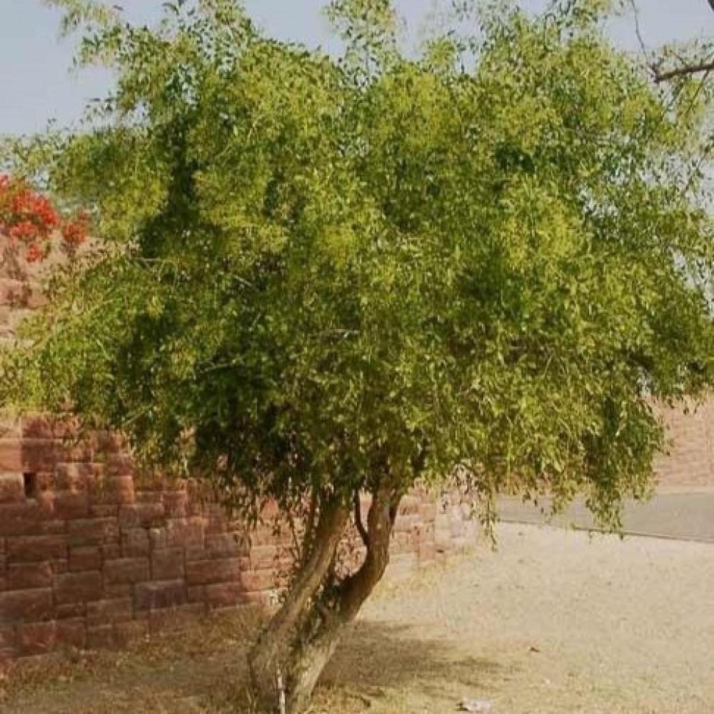 شجرة الأرآك