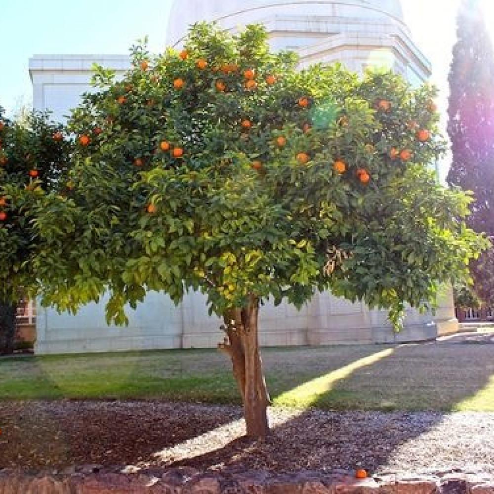 بذور اصول الحمضيات-نارنج-متجر بذور الزراعي