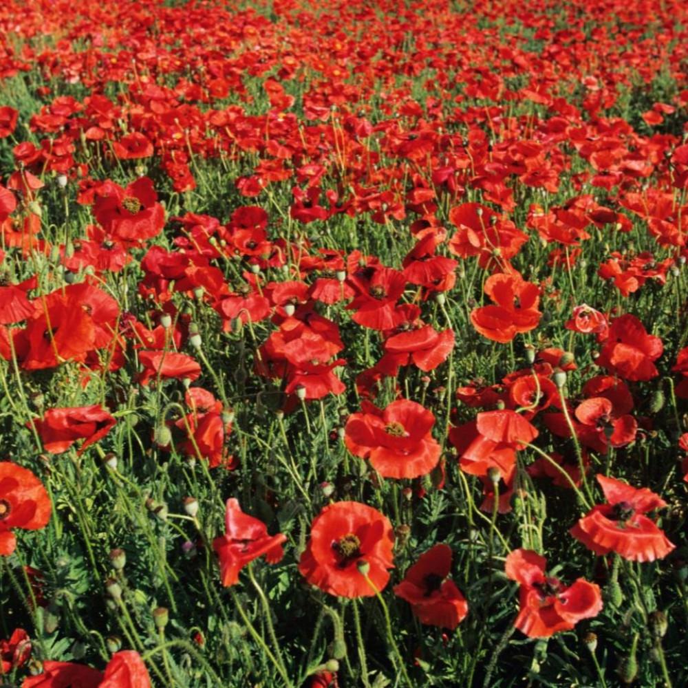 زهور الديدحان الأحمر