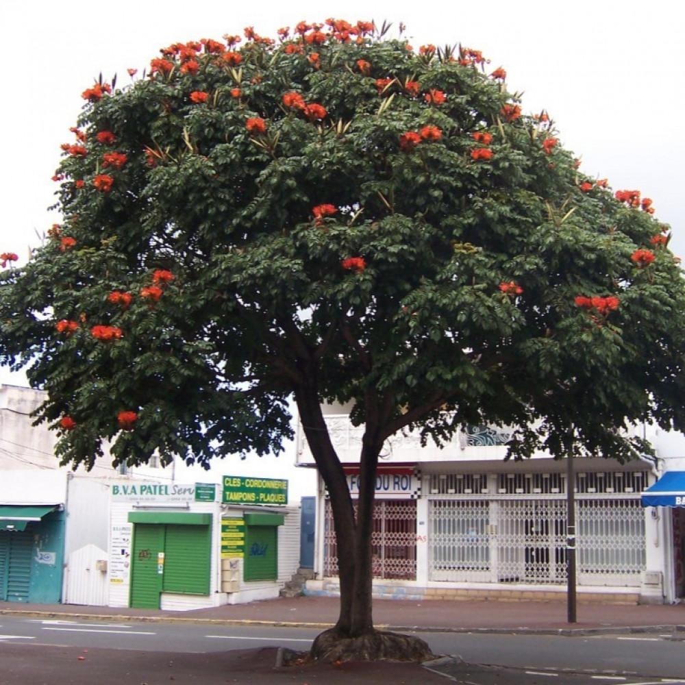 شجرة الزنقب الافريقي