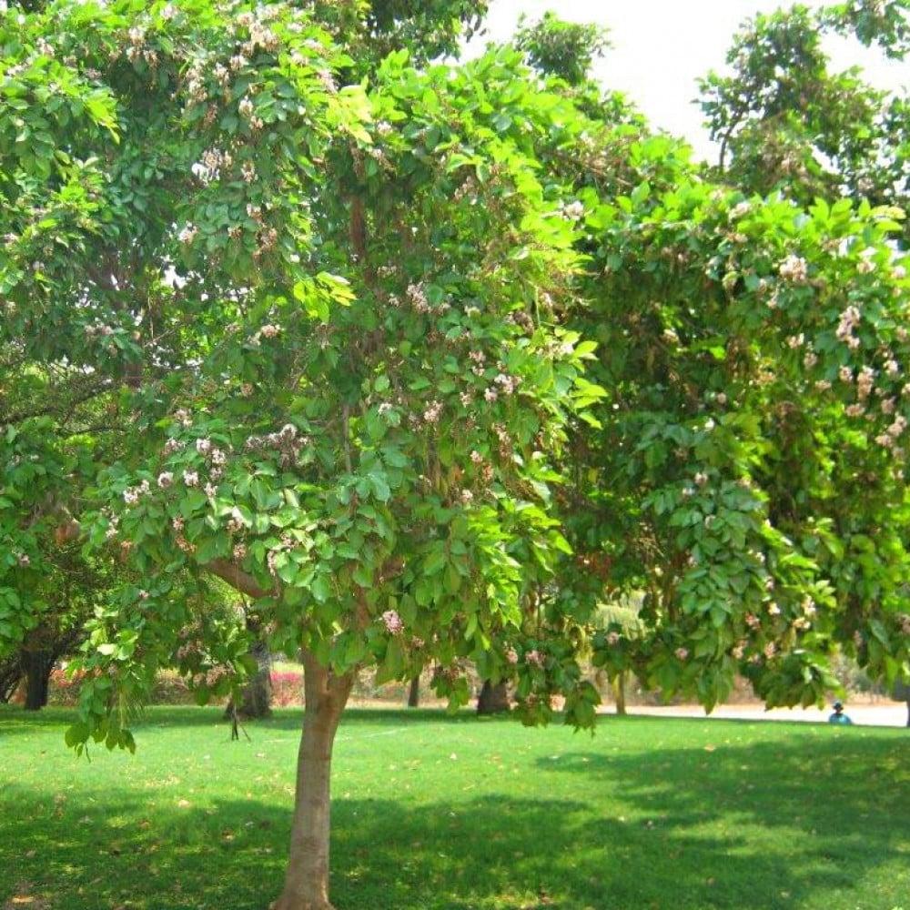 شجرة البونجاميا مزهرة