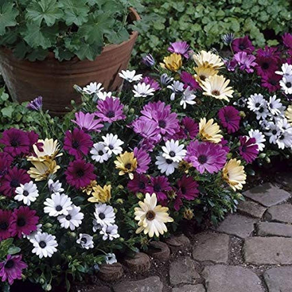 زهور ديمورفتيكا ملون-متجر بذور الزراعي
