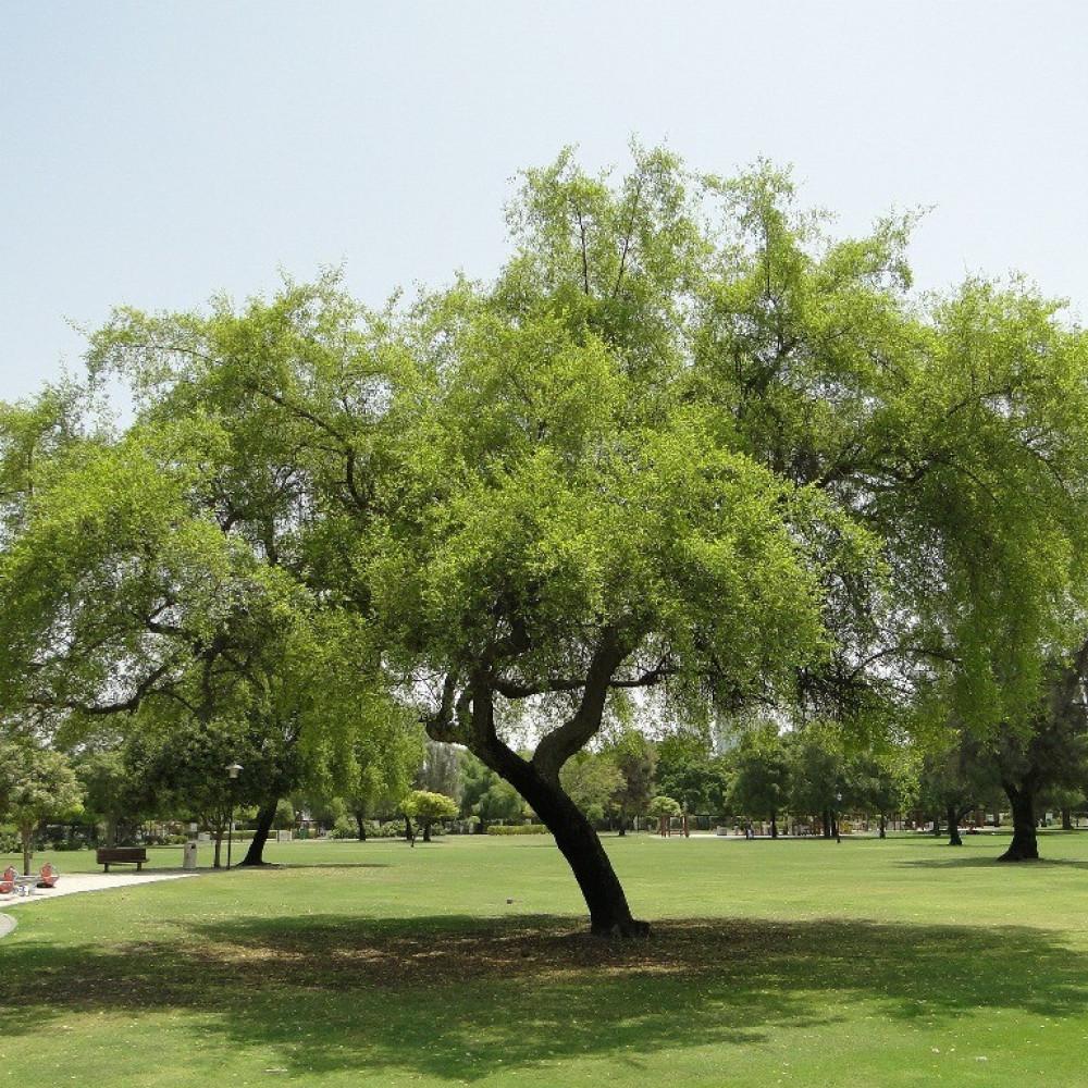 شجرة العبري