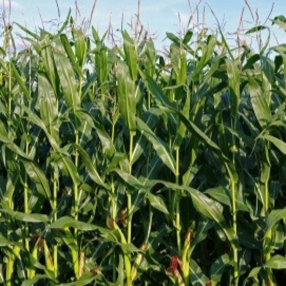 بذور الذرة الصفراء-متحر بذور الزراعي