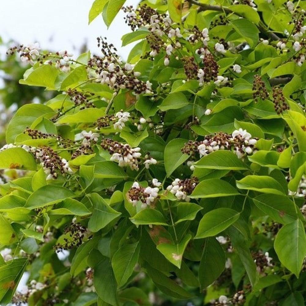 زهور وبذور شجرة البونجاميا