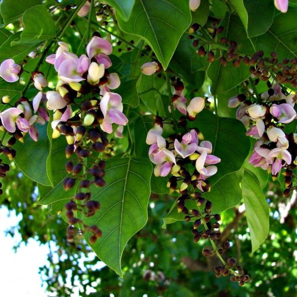 اوراق وزهور البونجاميا