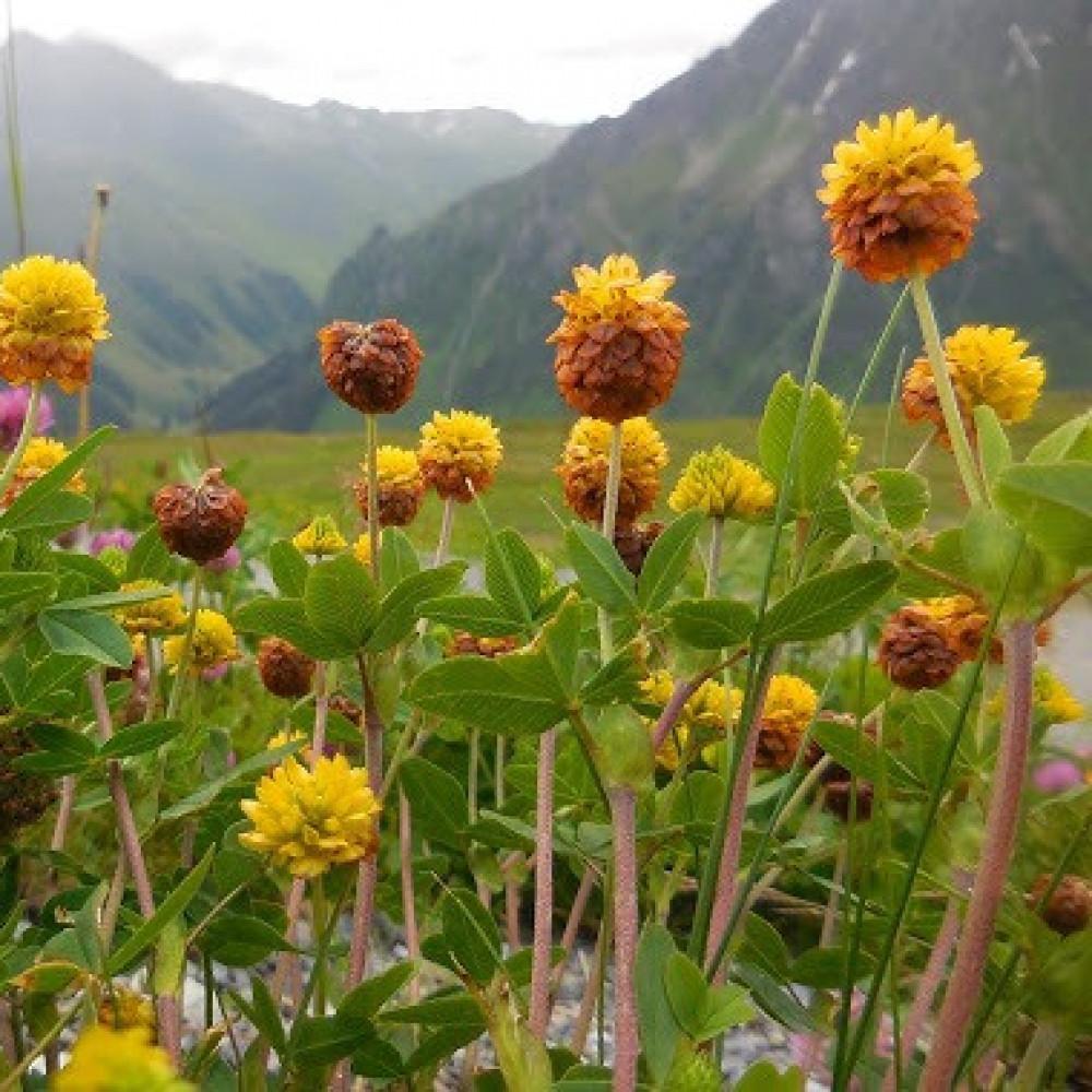 نبات النفل