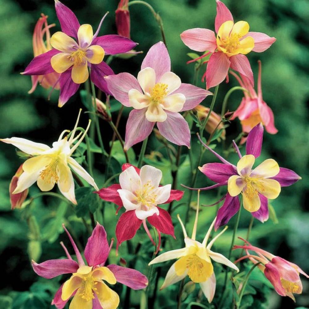 زهرة اكويلجيا- متجر بذور الزراعي