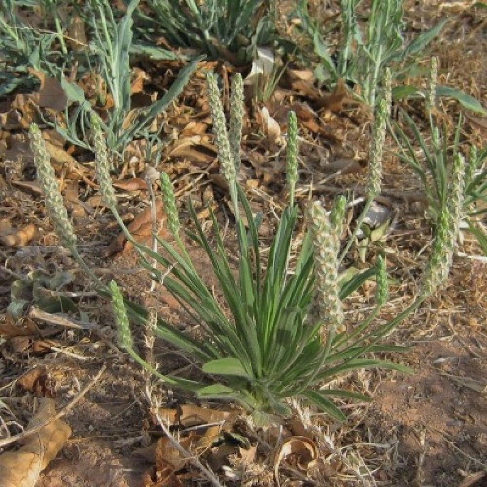 بذور نبات الريلة